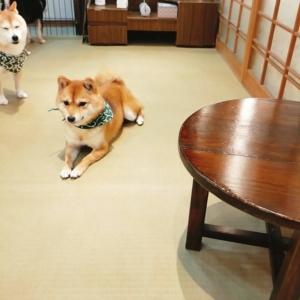 京都の四条にある豆柴カフェ